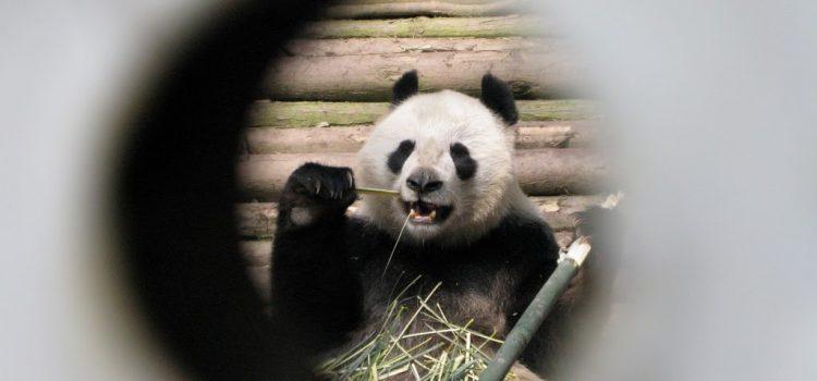 captive panda, china