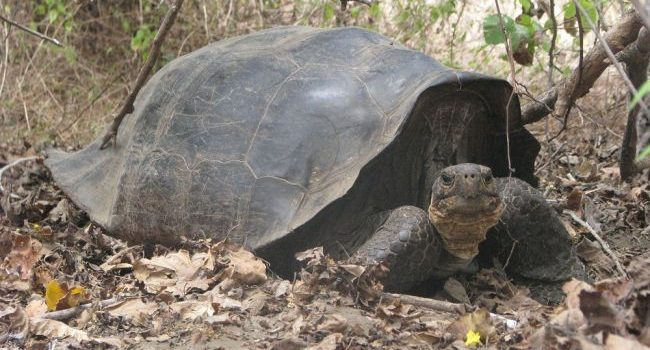 Extinct Galapagos tortoise has just been hiding