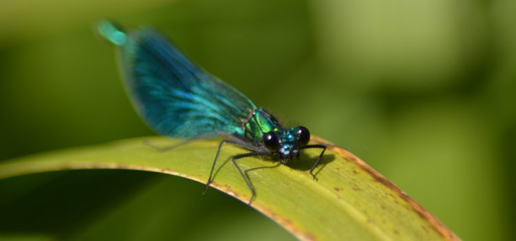 demoiselle, damselfly, darent